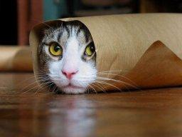 Mèo Tai Cụp