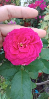Tâm sự hoa hồng